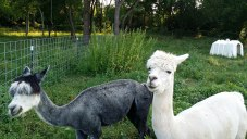 Alpacas Salt & Pepper