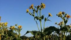 Powwow_Flowers2